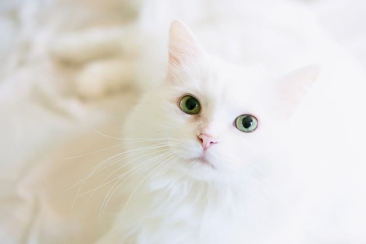 fehér cica, macskás ajándékok