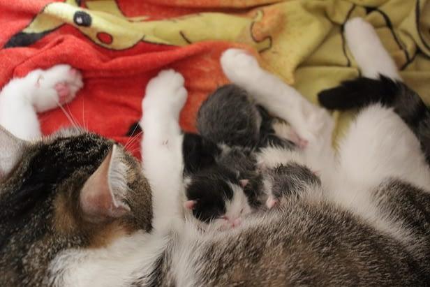 kiscica, cicamama, kölyök cica, cica nevelés